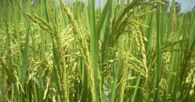 Bacterial blight and leaf streak diseases of rice