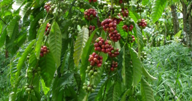 Coffee – calcium from Omex CalMax boosts yield, the bean and the brew