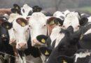 Viking Holstein in crossbreeding